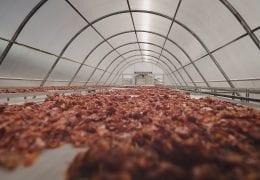 Solar Dryer Dome - Pengeringan Tomat di Thailand