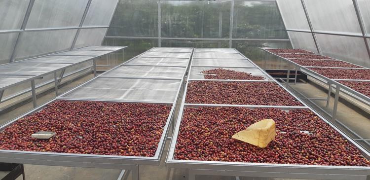 buah kopi dikeringkan solar dryer dome impack polycarbonate